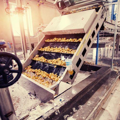 Gereinigte Kartoffeln auf einem Förderband, vorbereitet für die Verpackung